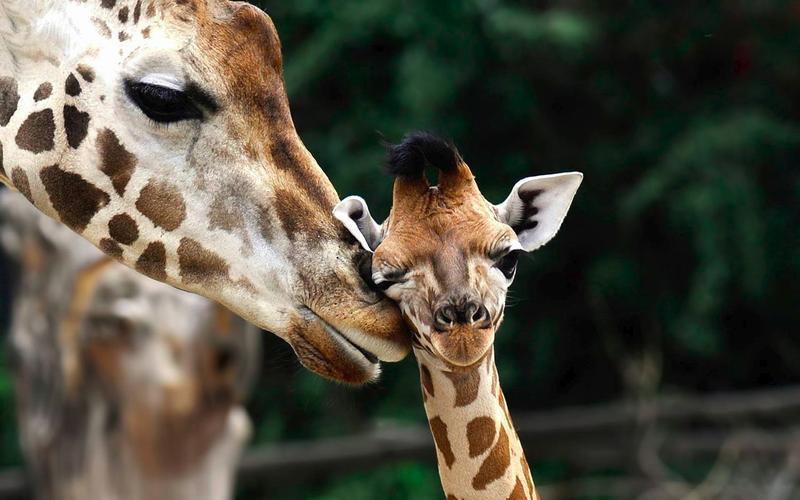 Когда жирафа рожает, ее детеныш падает с высоты полyтора метров.