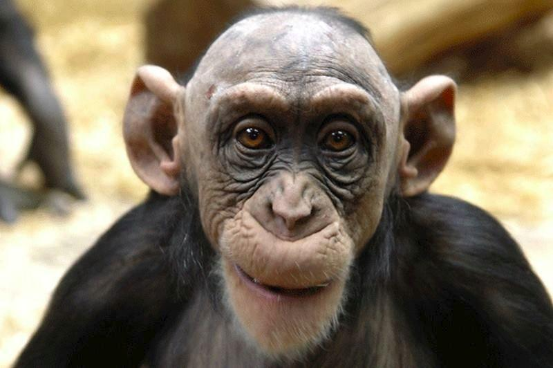 А вот уж действительно один из интереснейших фактов из жизни животных: самец обезьяны лысеет так-же, как и мужчина.