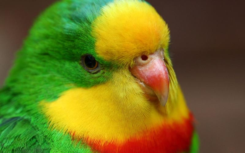 Пак — волнистый попугайчик, который знал 1728 слов и умел сам строить осмысленные фразы