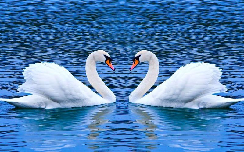 Лебеди могут прожить до 100 лет.